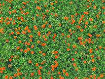 Orange carnations on lush green Royalty Free Stock Photo