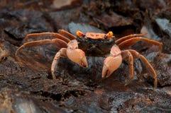 Orange carnaval crab Stock Photo