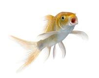 Orange carp swimming against white background Royalty Free Stock Photography