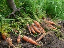 Orange carrots Royalty Free Stock Photography