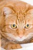 Orange cat. Looking like garfield Stock Image