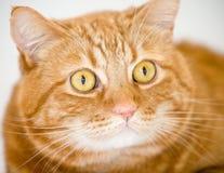 Orange cat. Looking like garfield Stock Images