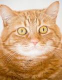 Orange cat. Looking like garfield Stock Photography