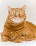 Orange cat. Looking like garfield Stock Photos