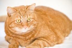 Orange cat. Looking like garfield Stock Photo