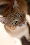 Orange Cat. Image showing a detailed head of a an orange alley cat Royalty Free Stock Images