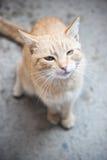 Orange Cat royalty free stock photo
