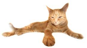 Orange cat. Isolated on white background Royalty Free Stock Image