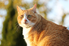 Orange Cat Stock Photography