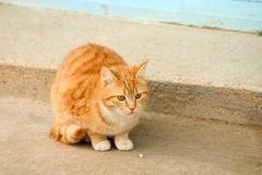 Orange Cat. An orange cat Stock Photography