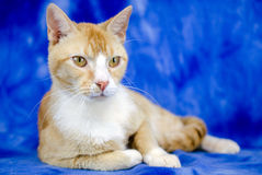 Orange Cat Adoption Photo Royalty Free Stock Image