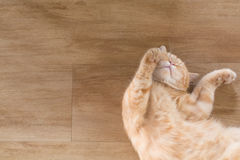 Orange cat american short hair sleeping. On wood floor Royalty Free Stock Photo