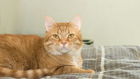 Orange Cat on Bed Stock Image