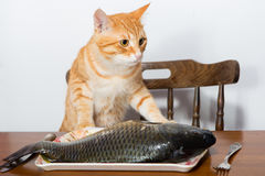 Orange cat and a big fish Royalty Free Stock Photo