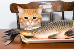 Orange cat and a big fish Royalty Free Stock Images