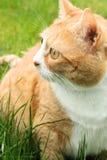 Orange cat Stock Photos