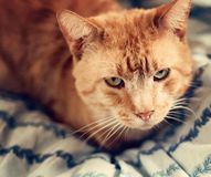 Orange Cat on a Blue Blanket Royalty Free Stock Photos