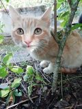 Orange cat. And brown shades and white with brown eyes royalty free stock photo