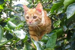 Orange cat climbing a tree. Orange cat between leaves climbing a tree Stock Image