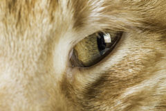 Orange cat close up eyes Stock Image