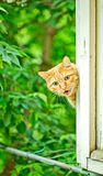 Orange cat cries on the window. A red yawning cat on the window Stock Photo