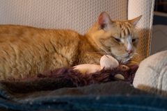 Orange cat cuddling with adorable sock monkey Royalty Free Stock Photography