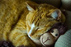 Orange cat cuddling with adorable sock monkey Royalty Free Stock Image