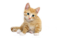 Orange cat with cyan eyes Royalty Free Stock Image