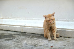 Orange cat dirty Stock Photography
