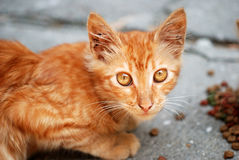 Orange cat eat granule Royalty Free Stock Photos