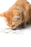 Orange cat eating catnip Stock Photos