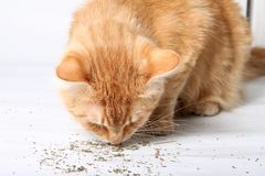 Orange cat eating catnip Stock Images