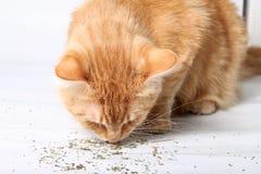 Orange cat eating catnip. A favorite treat of felines Stock Images