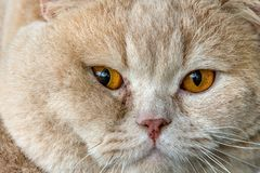 Orange cat eyes close up detail Stock Photo