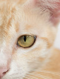 Orange cat face isolated Stock Images