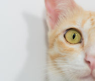 Orange cat face isolated Royalty Free Stock Photos