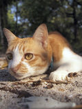 A orange cat in the forest. A orange cat looks something in the forest stock photography