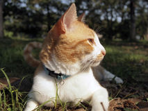 Orange cat in the garden. Orange cat lies down in the garden stock photo