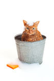 Orange Cat Getting a Bath in a galvanized Bucket. Bath time for a wet and unhappy orange Tabby cat sitting inside of a galvanized steel wash bucket with soap Royalty Free Stock Images