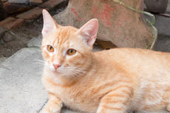 Orange cat, Ginger Tabby cat at home staring forward stock photography