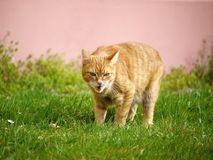Orange cat in grass getting angry Stock Photos