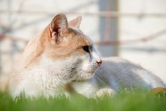 Orange cat hiding on green grass. stock photography