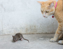 Orange cat and hunting rat Stock Photo