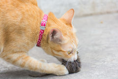 Orange cat and hunting rat Royalty Free Stock Image