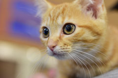 Orange cat Royalty Free Stock Photo