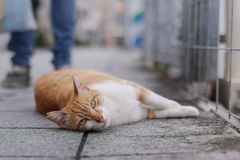 An orange cat laying down the road street Stock Image
