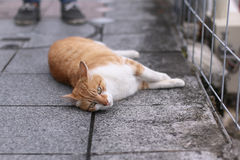 An orange cat laying down the road street Stock Photos