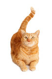 Orange Cat Laying Looking Up Stock Images
