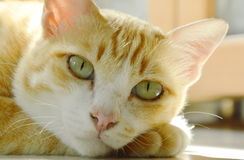 Orange cat laying and relax on tile floor Royalty Free Stock Image