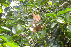 Orange cat among the leaves of a tree. A orange cat among the leaves of a tree Stock Images